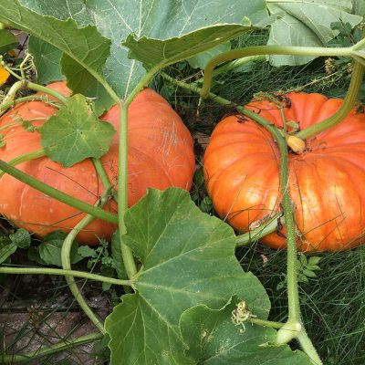 Why Cinderella Pumpkins are the BEST Pumpkins in the Land